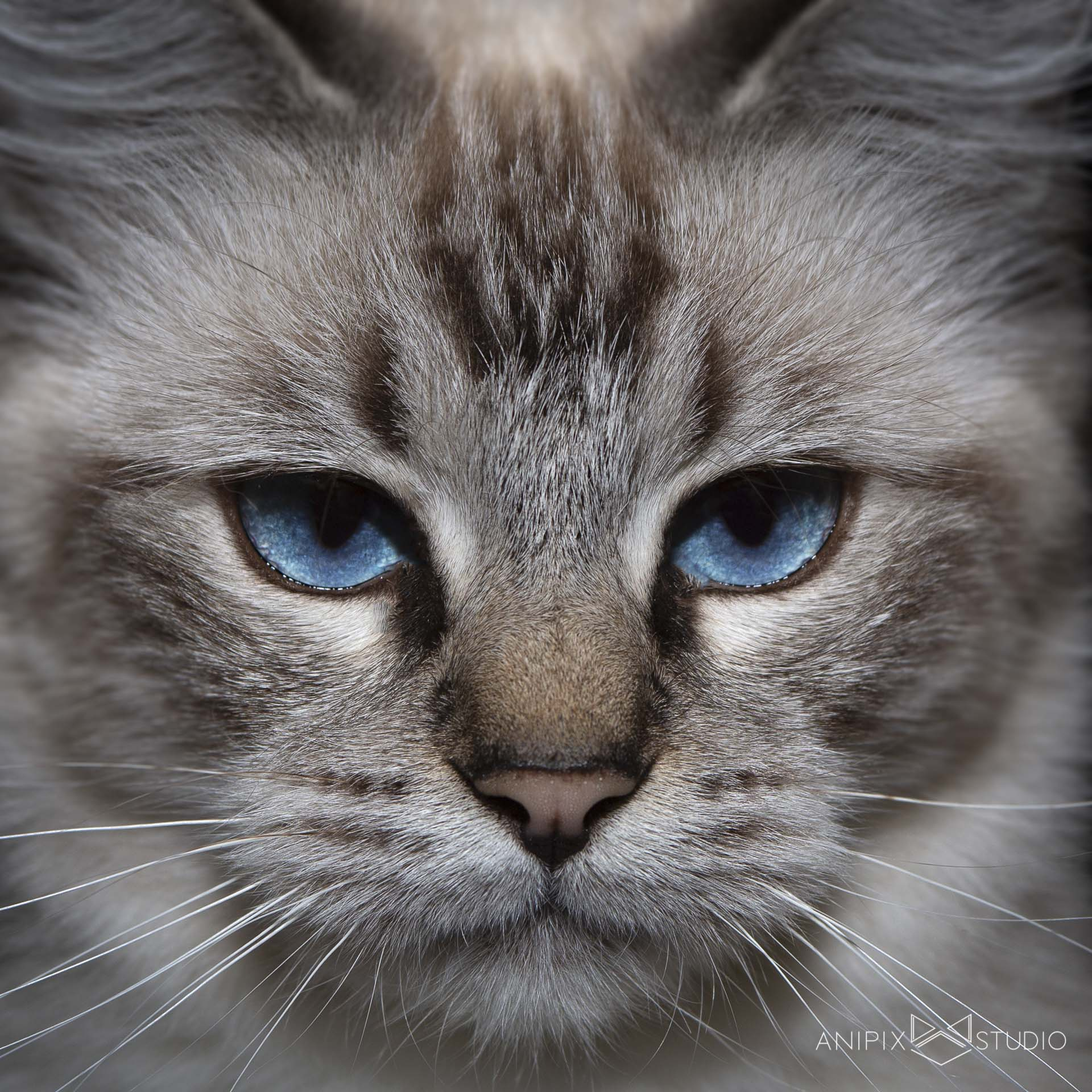 chat-ragdoll-portrait-bordeaux