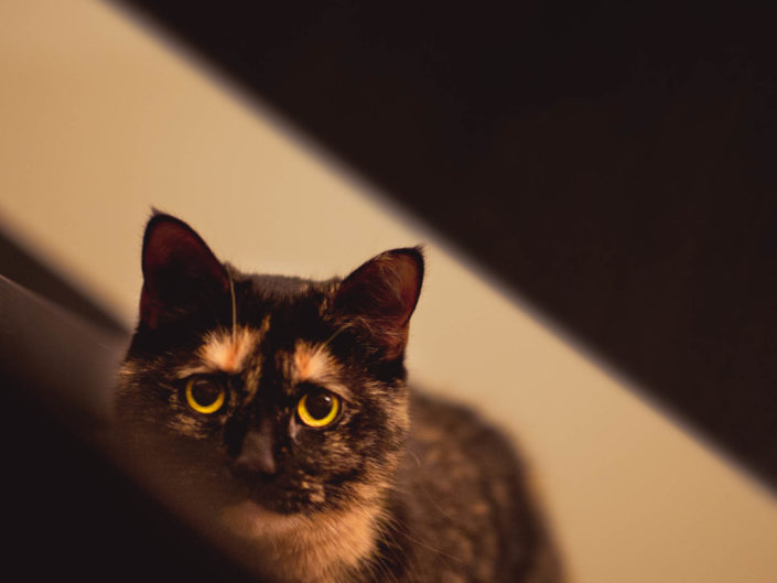Portrait char tigré roux par anipix studio photographe professionnel