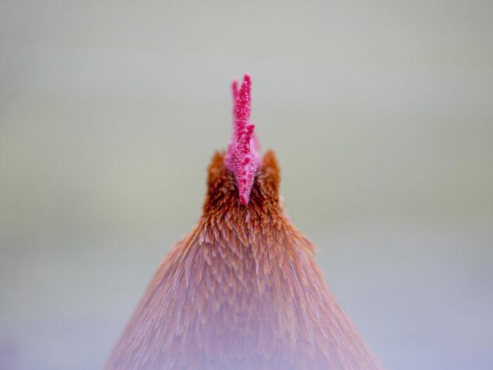 portrait coq de dos par anipix studio photographe professionnel Toulouse