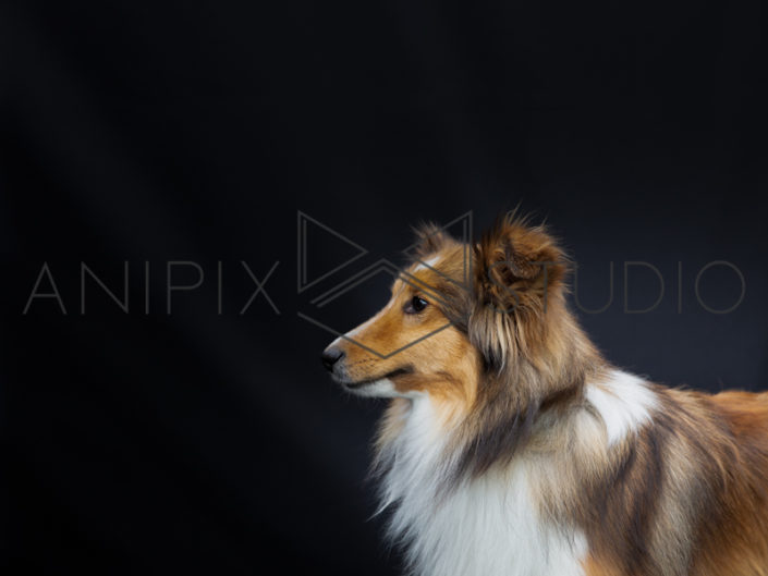 Chien-Border-colley-Photographe-canin-animalier