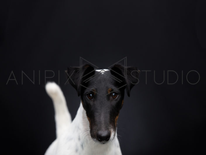 Chien-Fox-Terrier-Noir-Blanc-Photographe-canin