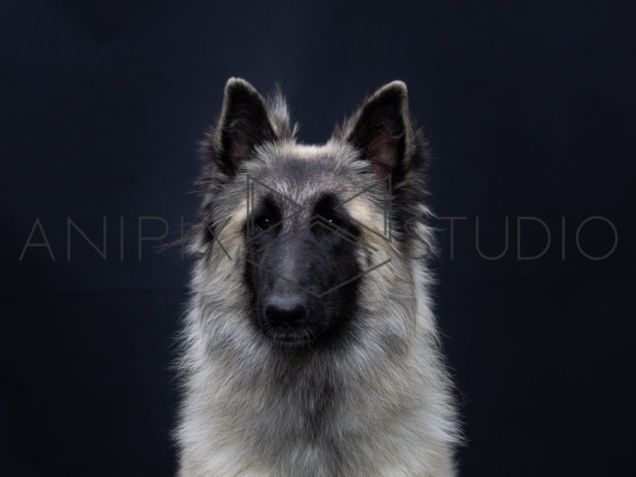 Chien-photographe-canin-berger-belge
