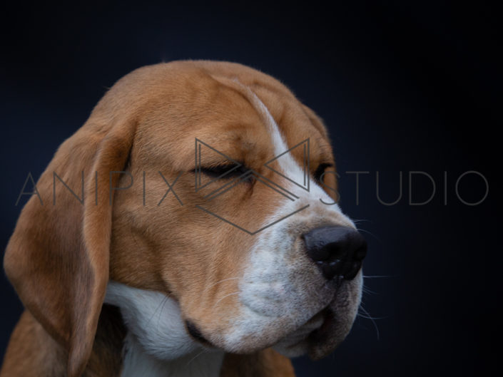 chien-beagle-photographe-canin