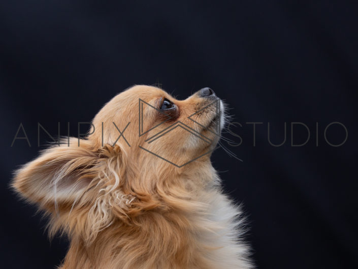 Chihuahua-chien-photographe-portrait-canin