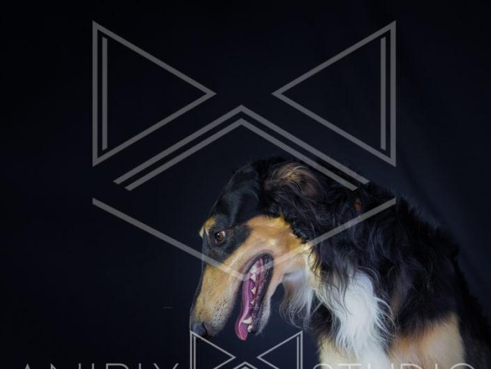 portrait chien toulouse barzoi