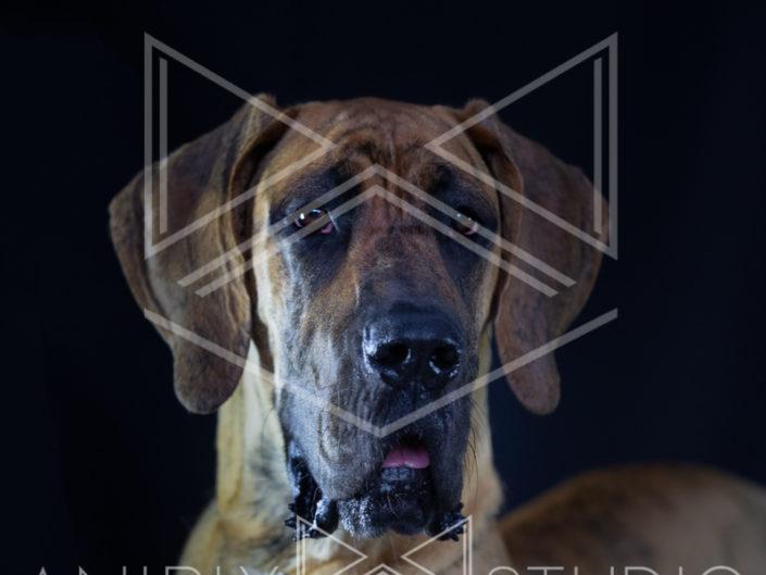 portrait chien toulouse dogue allemand bringué