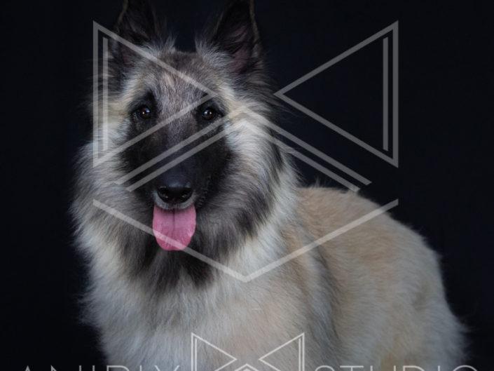 portrait chien toulouse berger belge tervueren