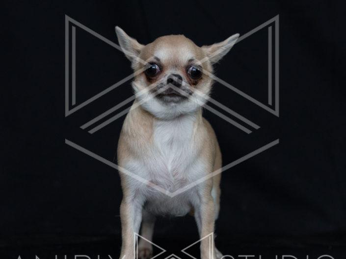 portrait chien toulouse chihuahua
