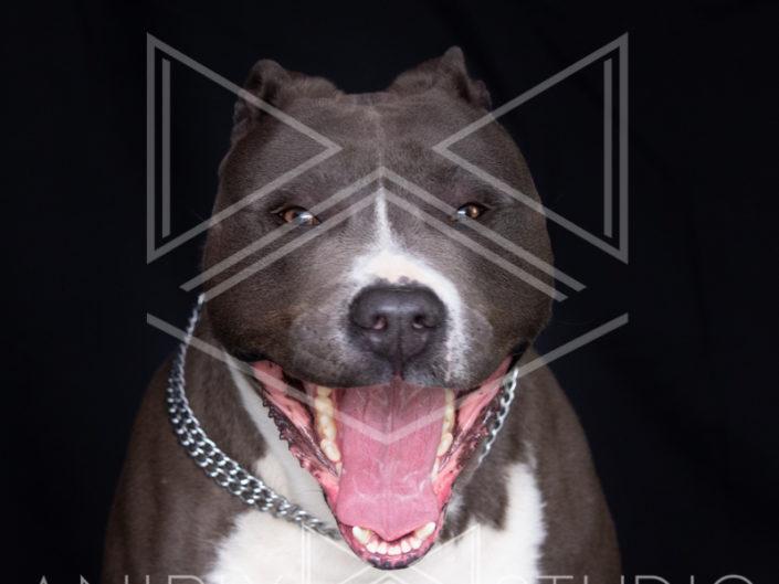 portrait chien toulouse staff