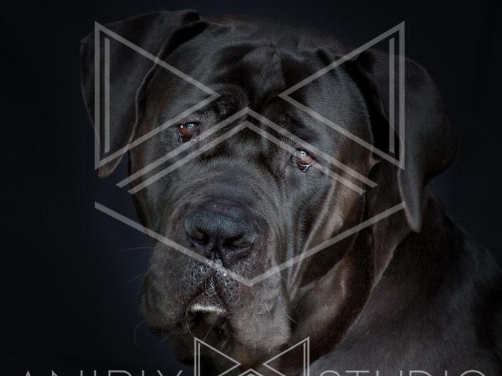 portrait chien toulouse cane corso noir