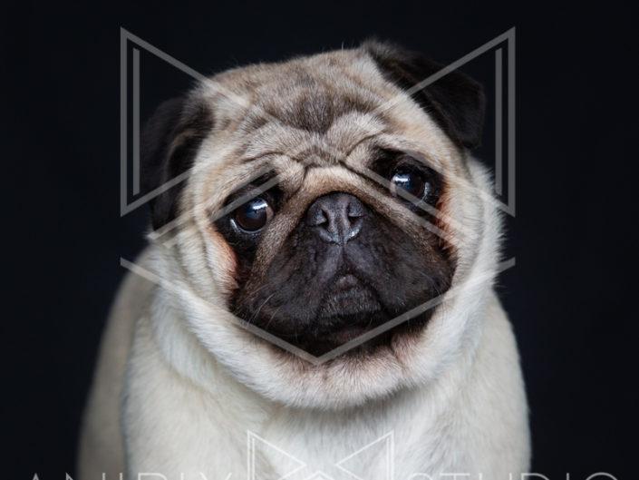 portrait chien toulouse carlin