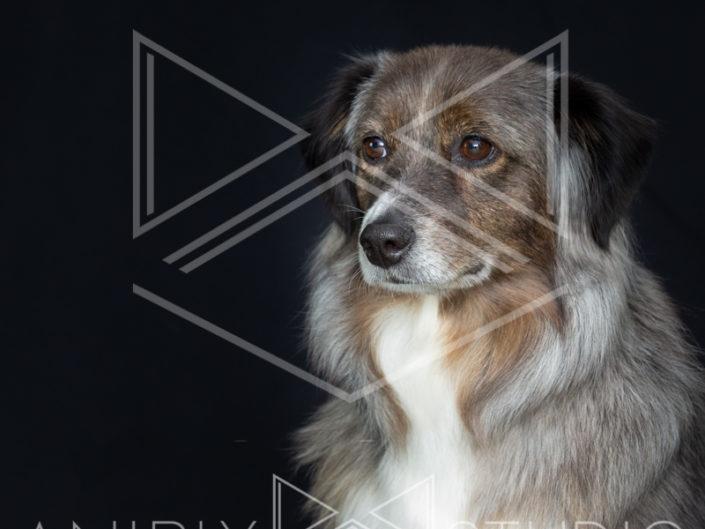 portrait chien toulouse berger australien