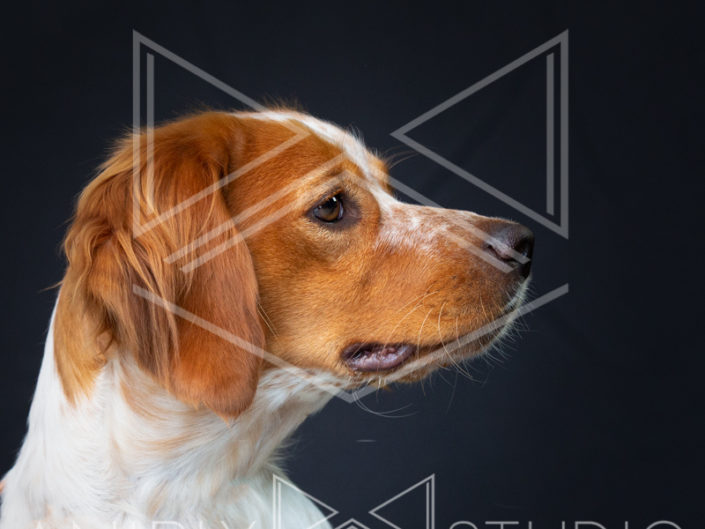 Photographie portrait chien Toulouse epagneul breton orange blanc