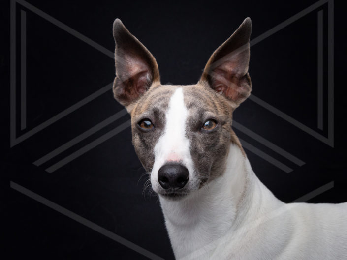 Exposition canine chien photo portrait whippet