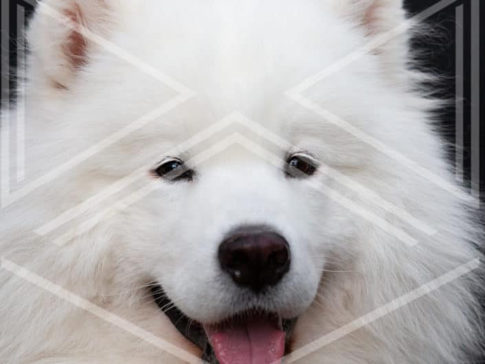 photo portrait chien samoyede blanc
