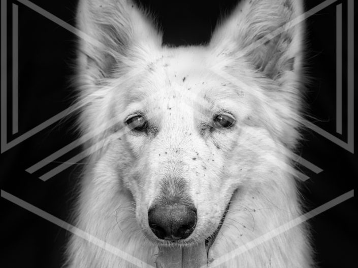 Photographe chien berger blanc suisse