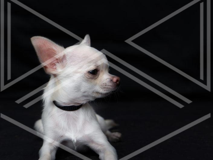 photographe chien bordeaux chihuahua