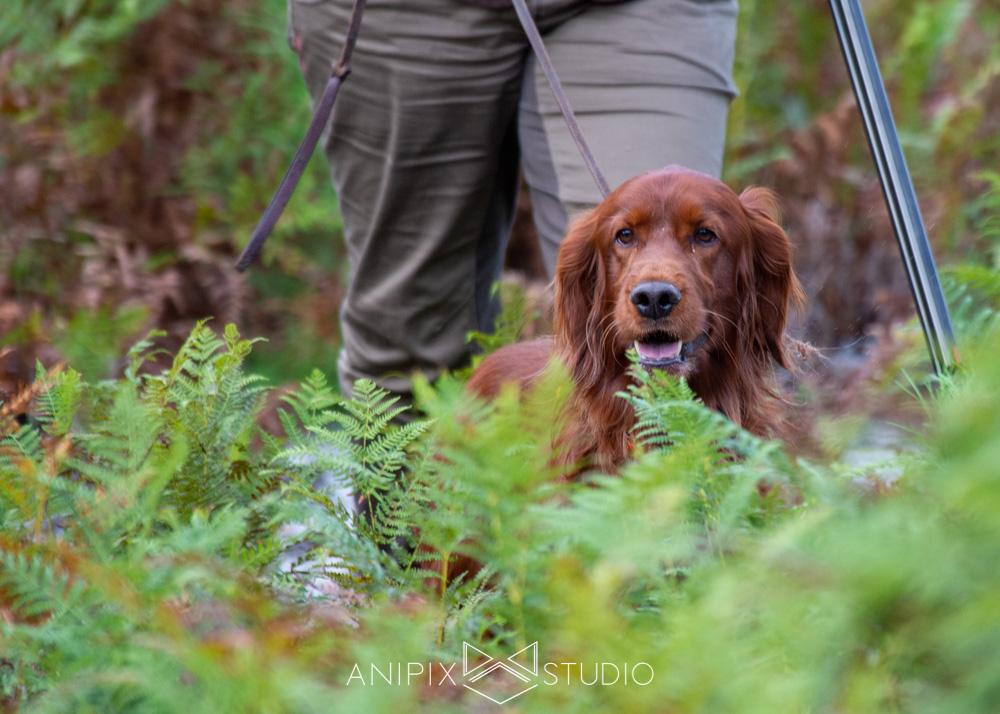 photographe chien setter pointer épagneul bordeaux