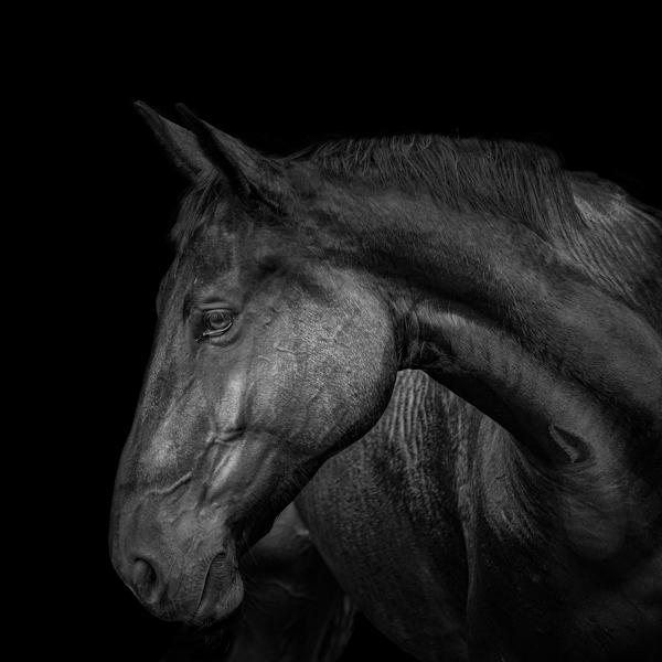 Les chevaux de l'Écurie de Léogean
