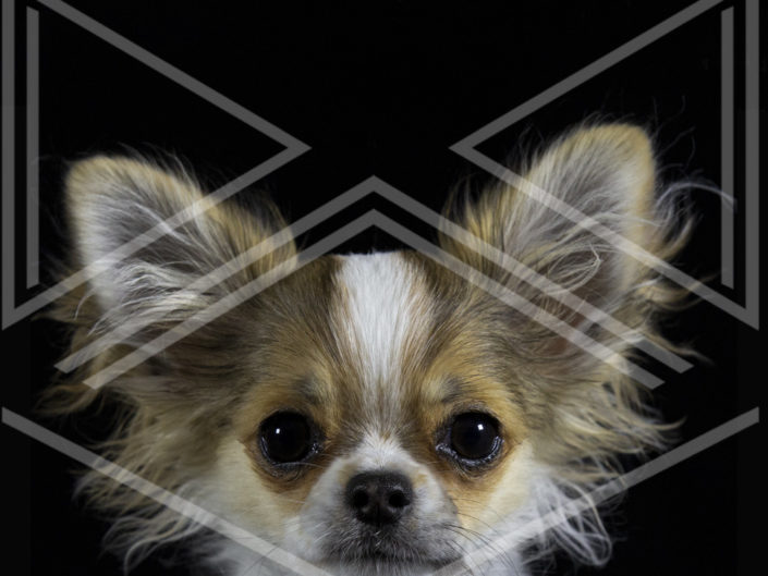Photographe chien toulouse chihuahua